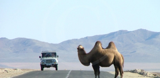 Moving dune and weeping camels